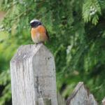 A male Redstart on the garden gate