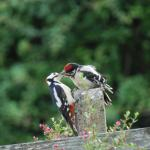 Baby Woodpecker being fed by Dad